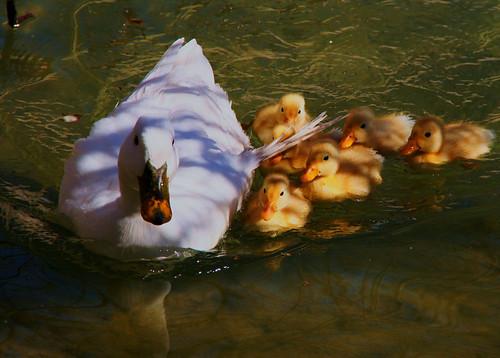 フリー画像| 動物写真| 鳥類| アヒル| 親子/家族| 雛/ヒナ|      フリー素材|