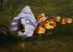 [フリー画像] [動物写真] [鳥類] [アヒル] [親子/家族] [雛/ヒナ]      [フリー素材]