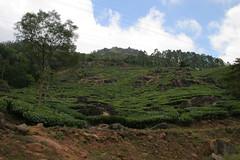 IMG_2345 (y.awanohara) Tags: india green tea kerala plantation teaplantation southindia munnar