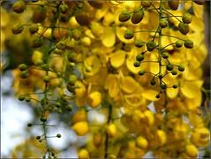 Vishu kani (Ravisankar RP) Tags: flowers vishu fz35