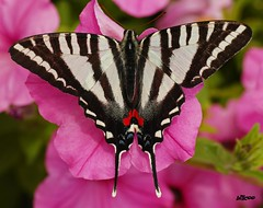 Colorful Butterfly on pink flower (billcoo) Tags: pink flower macro butterfly insect geotagged texas map sony explore farms fredericksburg tamron 90mm frontpage con swallowtail a700 wildseed specinsect bướm