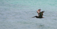 "Apr08_ DR Trip_ Brown Pelican 2 • <a style=""font-size:0.8em;"" href=""http://www.flickr.com/photos/30765416@N06/4520911774/"" target=""_blank"">View on Flickr</a>"