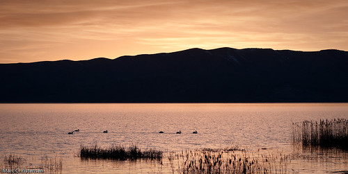 Pelicans on Utah Lake at Sunset
