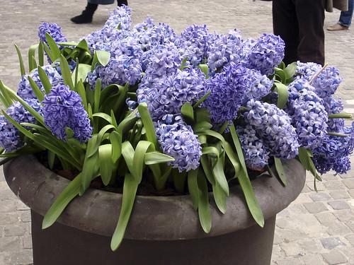 die schönsten Hyazinthen von Zürich