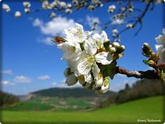 Fleur de cerise (Domi Rolland ) Tags: france nature fleur europe aveyron midipyrnes abigfave allxpressus compeyre natureselegantshots