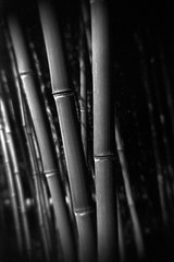 Bamboo 01 (bw) (geraldfigal) Tags: bw monochrome 35mm xpro bamboo rodinal expiredfilm colorfilm ept160t gakkenflex