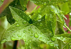 green leaves (emergrn) Tags: greenleaves green leaves drops spring raindrops waterdrops