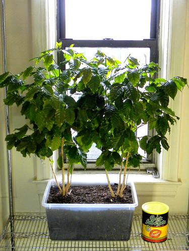 Indoor Coffee Plantation Update 04-22-10