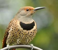 Jester (delphinusorca) Tags: woodpecker flicker backyardwildlife nikon70300vr 4232010