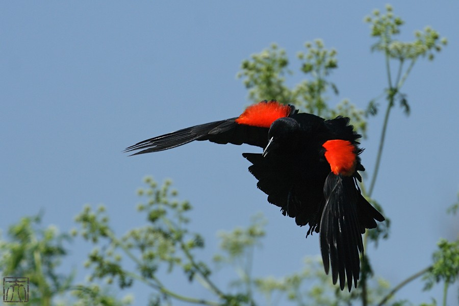 Red-winged Blackbird 04101-6