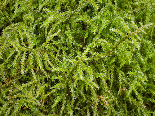 Rhytidiadelphus loreus 20100128_0745 by GORGEous nature.