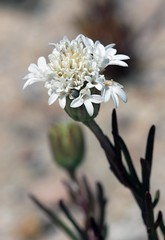 Fremont Pincushion (Ron Wolf (...detests this new design...)) Tags: redrockcanyon california flower nature vertical desert mojave wildflower asteraceae chaenactisfremontii