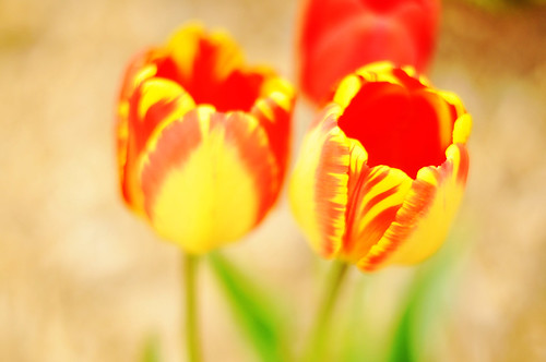 Yellow Tulips with Red Edge