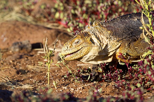 Land Iguana (Conolophus) Munching on Grass