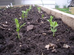 Here come peas! (Digital Sextant) Tags: plants garden bed box gardening soil dirt peas pea sprouts sprout raised