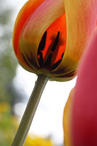 Red and yellow tulip - inner sanctum