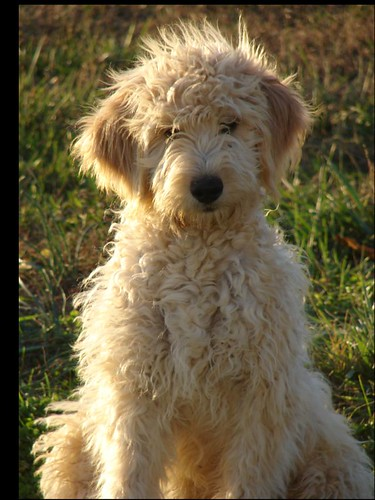 Boomer2 F1B Goldendoodle Male 11-1-06