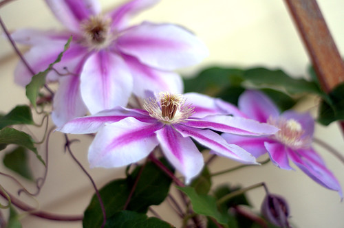 Clematis on my porch