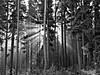 Misty Morning at the Ochsenkopf Slopes (Andreas Helke) Tags: wood trees light bw sun mist green nature backlight forest germany landscape bayern deutschland bavaria woods europa europe flickr y natur gimp rays fav portfolio popular franken 2008 landschaft wald spruce baum picnik twa fichte 1208 naturesfinest fav1 p50 fichtelgebirge ochsenkopf candreashelke worldsfavorite 123bw haslargesize smartsharpening skriptfu donothide lc50 20081220291 20081220372 20090408642 popularold 2010051081 upload2010