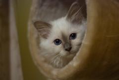DSC_2966 (djc75) Tags: cats cat photography photo kitten photos kittens birman birmankittens douglascowley djc75 dcowley