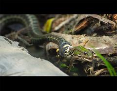 Wildlife near Bezdan, Serbia (Mylos pics) Tags: nature animals death killing bokeh snake frog