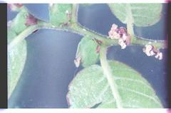 8   080927-1598-010300 (h35312) Tags: 8  zelkova makino serrata ulmaceae thunb urticales        0809271598010300