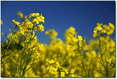 oilseed rape - Raps (motivsucher) Tags: spring raps frhling oilseedrape
