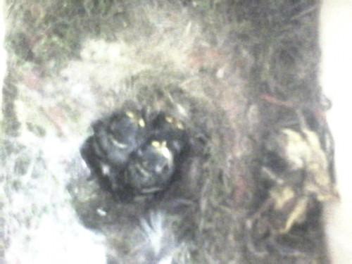 Drei lebendige (Mitte) und zwei tote Nestlinge (rechts am Rand)