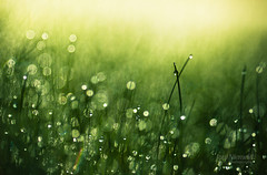 Morning Dew (Joni N) Tags: morning green grass pentax bokeh dew k7 sigma105 pentaxk7