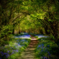 Foxley Wood (~J0~ (away)) Tags: uk flowers trees sunlight blur nature bluebells woodland square soft shadows path norfolk verdant archway dappled orton foxleywood
