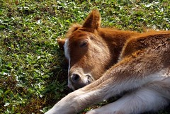 Nap time (Jaedde & Sis) Tags: sleeping stallion icelandic foal gleipnir storybookwinner