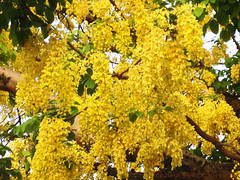 Golden showers blossoms!!! (Jehane*) Tags: flowers flower tree nature leaves yellow golden spring blossoms bunches blooms goldenshowers bunchesofflowers jehanesphotography naturewatcheramp