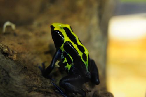 Dendrobates tintorius - Dyeing Dart Frog