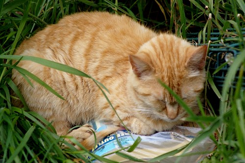 orange feral cat sleeps in the grass. Click to comment on Flickr