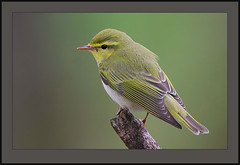 Wood Warbler (Phylloscopus sibilatrix) (Rainbirder) Tags: woodwarbler phylloscopussibilatrix naturescall scottishbirds treeofhonor taxonomy:binomial=phylloscopussibilatrix