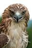 Prepare For Take Off (Nikographer [Jon]) Tags: bird birds virginia lenstagged spring nikon release may va blogged nikkor rehab 2010 redtailedhawk d300 rth nikographer 18200mmvr nikond300s 20100529d300s41462
