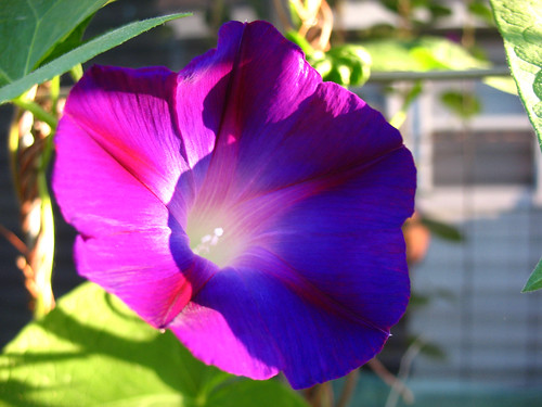 morning glory 2010