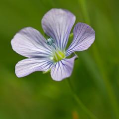 Linum bienne (Sinkha63) Tags: france flower macro fleur prairie wildflower corrze bleue flore limousin blueflower beynat linaceae paleflax et linumbienne l