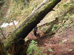 The duck-under-the-fallen-big-tree landmark (about 3/4 of the way up to the NW ridge)