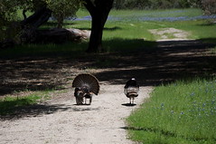 How About A Shot Of Wild Turkey When We Get Home? (blueteeth) Tags: bluebells tom path meadow hen strutting wildturkeys