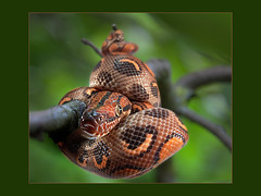 Rainbow Boa Mess (guenterleitenbauer) Tags: orange color green nature animal animals austria tiere photo sterreich rainbow mess ast branch foto with angle image photos reptile snake natur wide images fisheye boa fotos animales nothing grn snakes naranja gruen obersterreich reptiles tier schlange boas gnter reptil rhymes schlangen g fischauge blorenge rhymeswithorange netneutrality guenter leitenbauer wwwleitenbauernet matters2me