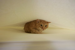 Fortune cookie (smashz) Tags: orange cat bed funny tabby harry sheet hiding thecatwhoturnedonandoff