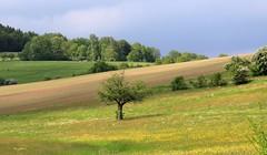 (:Linda:) Tags: field yellow germany landscape village meadow thuringia soil gelb wildflower raps baum canola rapeseed erde poppenwind erdboden erdreich ackerboden treesinspring bumeimfrhling baumimfrhling