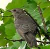 A Young Starling Waiting To Be fed (Church Mouse 07) Tags: uk bird nature june lumix spring wildlife panasonic british 2010 inthegarden wildbird youngstarling dmcfz28 churchmouse07
