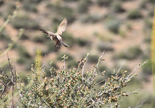 Surprise Valley bird - Grand Canyon