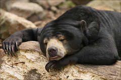 Sleeping Bear (Foto Martien (thanks for over 2.000.000 views)) Tags: bear holland netherlands beer dutch animals zoo southeastasia arnhem nederland burgers veluwe burgerszoo dierentuin gelderland dierenpark rimba honeybear malayansunbear sunbear beertje smallbear zuidoostazi a350 maleisebeer honingbeer helarctosmalayanus burgersdierenpark beruangmadu ursusmalayanus smallestbear kleinebeer sonyalpha350 martienuiterweerd martienarnhem kleinstebeer sony70300gssmlens martienholland fotomartien