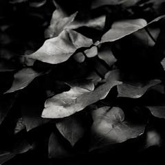 (EudaldCJ) Tags: bw monochrome squareformat leafs lowkey 500x500