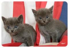 grey&graphite (alessandraledda.jimdo.com) Tags: sardegna cats pets grey kitten sardinia natura felini gatti animali graphite cuccioli gattini