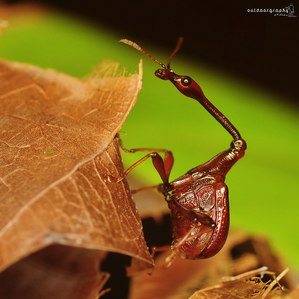 Giraffe Weevil | Trachelophorus giraffa  (by Sir Mart Outdoorgraphy™)