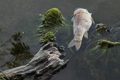 Dead carp on Lake Mendota (David H. Thompson) Tags: fish photography fishkill carp algae madisonwi ambience deadfish lakemendota davidthompson reflectionn polllution univeristybay